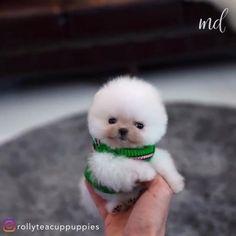 Teacup Pomeranian Puppy, Teacup Dogs, Cute Teacup Puppies, Mini Puppies, Fluffy Puppies, Very Cute Puppies, Cute Baby Dogs, Cute Animal Memes, Funny Animal Videos