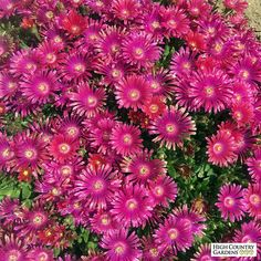 Granita ® Raspberry Ice Plant (Delosperma Granita Raspberry) is a hybrid Ice Plant that blooms in late spring with stunning raspberry-red flowers. The plant is very cold hardy with evergreen stems and foliage.