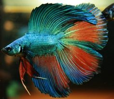 Complete List of Most Beautiful Betta Fish in The World (Tail, Pattern, Colors). I bet you will fall in love with them. Which one do you like?