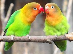 In the wild, most lovebird species pair for life. You can spot a budding romance by proximity, as lovebirds stay especially close to one another as mating season approaches, briefly parting to collect nesting materials and foraging for food, but back together to relax and roost. You might say that lovebirds love to be near the one they love.
