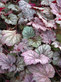 HEUCHERA \'Frosted Violet\' - Heuchère - Coral Bells