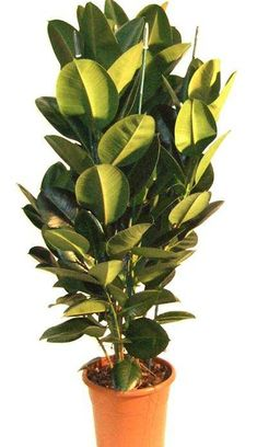 This plant too is good for cleansing indoor air...snhttp://0.tqn.com/d/fengshui/1/0/L/B/-/-/ficus-robusta-indoor-plants-co-uk.jpg