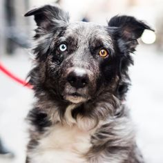 """Huck Australian Shepherd (7 y/o) Prince & Broadway New York NY  """"He's done some modeling."""" by: @thedogist"""
