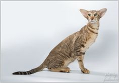 Golden Orion Elisabeth, Oriental  Shorthair cat