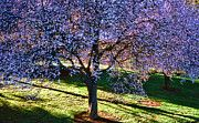 All - Cherry Tree by Cathy Anderson