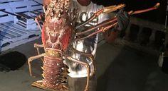 Pescan langosta de seis kilogramos... Y deciden liberarla