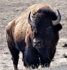 13 Awe-Inspiring Photos of Beautiful Bison Buffalo Animal, Buffalo Art, Large Animals, Animals And Pets, Cute Animals, American Bison, American Animals, Majestic Animals, Animals Beautiful