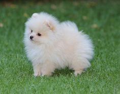 Charly pomeranian puppy