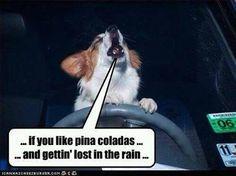 - Funny pictures and memes of dogs doing and implying things. If you thought you couldn't possible love dogs anymore, this might prove you wrong. Raining Cats And Dogs, Pina Colada, Adult Humor, Four Legged, Music Quotes, Van Life, Dog Cat, Funny Pictures, Lol