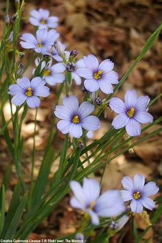 Narrow Leaf Blue Eyed Grass (Sisyrinchium angustifolium)