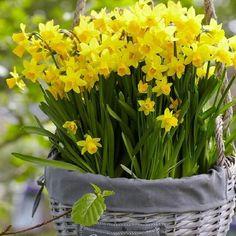 Daffodil Bulbs (Miniature) – Tete a Tete Pre-Sale Now; Ships Fall 2019 - All About Gardens Daffodil Bulbs, Bulb Flowers, Large Flowers, Daffodils, Yellow Flowers, Tulips, Summer Flowering Bulbs, Summer Bulbs, Spring Bulbs