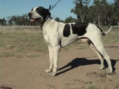 The Bull Arab is an Australian dog purpose-bred primarily as a finder and lugger for wild boar hunting. They are also used for catching wild scrub bulls in outback Australia. They were bred with the need to create a dog with enough size to stop large boars but with enough speed and stamina to outlast many of the other heavier mastiffs