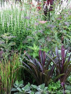 'Oakhurst' in bud with parsley, 'Big Ears' lamb's ears, blood grass (Imperata cylindrica 'Rubra'), 'Plum Crazy' hibiscus, and Culver's root (Veronicastrum virginicum)
