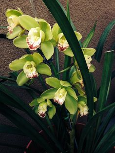 My own cymbidium