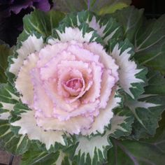 Garden, Le' Fleur O' My Heart, by Name... Pink Ornamental kale~wonderful in fall and winter beds.