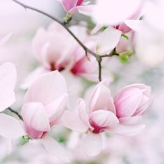Beautiful pink magnolias.  Photo taken by Elena ~ pretty light.
