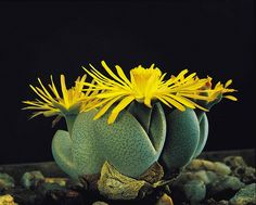 Lithops, or Transvaal stone plants, Gauteng, South Africa. Cacti And Succulents, Planting Succulents, Cactus Plants, Greenery Day, South African Flowers, African Plants, Flora Garden, Stone Plant, Summer Plants