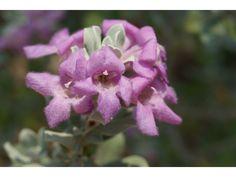 Leucophyllum frutescens (Texas Ranger with silver leaf, pink flower)