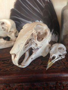 Rabbit and bird skull.