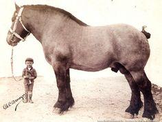 Uit de oude doos: stamvader van het Belgisch trekpaard www.veldverkenners.be