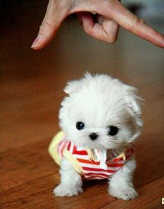 Teacup pup, my next doggie?..