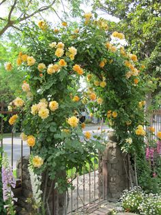 Autumn Sunset roses on arch in side yard.  They are such a beautiful shade of yellow, just a hint of apricot as they open.