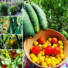 """Congratulations Kaitlyn! Our 9th Weekly Winner has been gardening strong with us since 2013! Check out Kaitlyn's urban garden! """"See attached! Took the pictures a few days ago - all of my harvest from one box of tomatoes, one box of cucumber plants, and box of basil in the background. All together, with some dressing, made a lovely salad!""""                                                       Katilyn H., Chevy Chase, MD"""