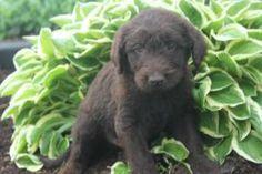 Labradoodle Puppies For Sale, Pennsylvania, Labrador Retriever, Gap, Dogs, Animals, Labrador Retrievers, Animales, Animaux