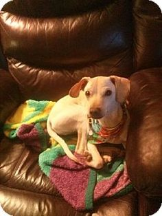ST LOUIS, MO - Labrador Retriever/Dachshund Mix. Meet Bono a Puppy for Adoption.