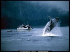 Google Image Result for http://photography.nationalgeographic.com/staticfiles/NGS/Shared/StaticFiles/Photography/Images/POD/b/breaching-whale-521840-lw.jpg