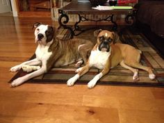 American Bulldog. Boxer. Our babies.