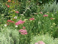 The health benefits of #Yarrow (#Achillea) Essential Oil can be attributed to its properties as an anti-inflammatory, anti-rheumatic, antiseptic, anti-spasmodic, astringent, carminative, cicatrisant, diaphoretic, digestive, expectorant, haemostatic, hypotensive, stomachic and tonic substance.