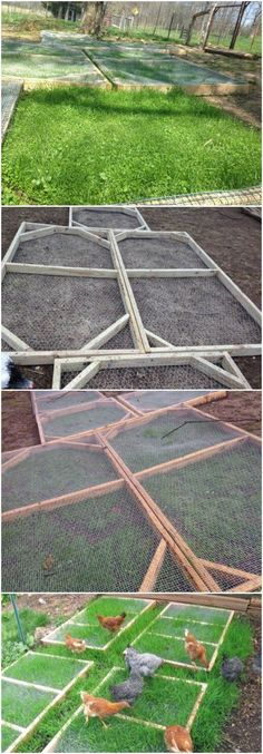 Growing fodder for chickens inside the run