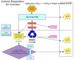 cellular respiration biology