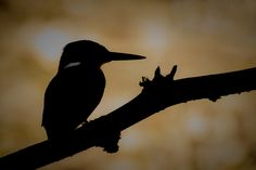 draws an outline (kingfisher) by wise photographie on 500px