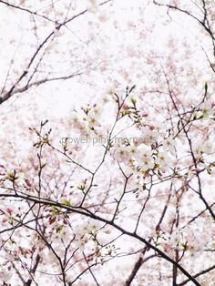 cherry blossom 'powder pink moments' 2017 : 桜の春 2017
