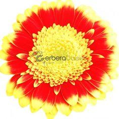 Bulk Flowers - Fresh Yellow and Orange Germinis With Ruffled Petals