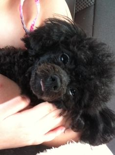 This is my TINY TOY POODLE (BLACK). She is 3 years old (Dog Years), and her name is Sophia Grace Upchurch. And as you can see, she LOVES to stick her adorable little tongue out. LIKE ME! :p