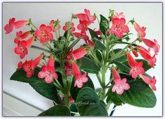 Japon Küpesi (Kohleria) Yetiştirilmesi, Bakımı, Çoğaltılması - Forum Gerçek Winter Garden, Farmer, Blog, Japanese, Plants, Gardening, Living Room, Garden, Flowers