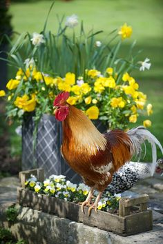 "A Handsome Rooster ~ ""Springtime Down On The Farm. Country Farm, Country Life, Country Living, Country Roads, Beautiful Chickens, Beautiful Birds, Farm Animals, Animals And Pets, Gallus Gallus Domesticus"