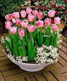 Pretty spring container garden with pink tulips and white ground cover.