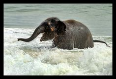 What a darling picture, a baby Elephant playing in the ocean . The baby Elephant is so so adorable having fun✨ Elephant Day, Happy Elephant, Cute Baby Elephant, Animals And Pets, Baby Animals, Cute Animals, Animal Pictures, Cool Pictures, Elephas Maximus