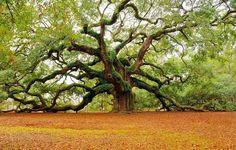 400 year old angel oak tree, California