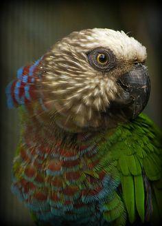 ~~Hawkhead Parrot~~