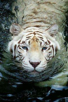 Bengal white tiger swimming