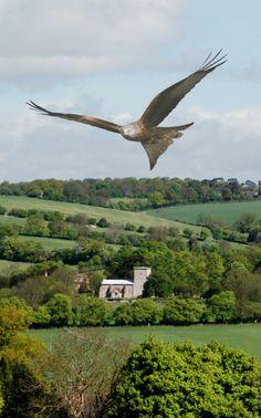 Red Kite, Chiltern Hills, Buckinghamshire, Englandby Gerry...