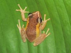 Celebrate Frog Jumping Day with Puerto Rico's Coqui http://caribbeantrading.com/celebrate-frog-jumping-day-with-puerto-ricos-coqui/