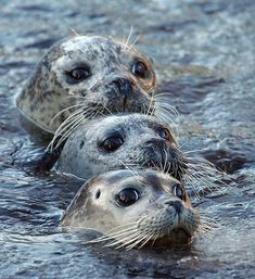 Pinnipeds, fin-footed marine mammals, are divided into two categories: earless seals (true seals) and eared seals (sea lions).