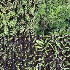#greenhouse #flower farm #phacelia #cosmos #nigella #buttons #yourweddingflowers