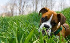Daily Cute: When a Herd of Cattle Meet a Boxer Puppy